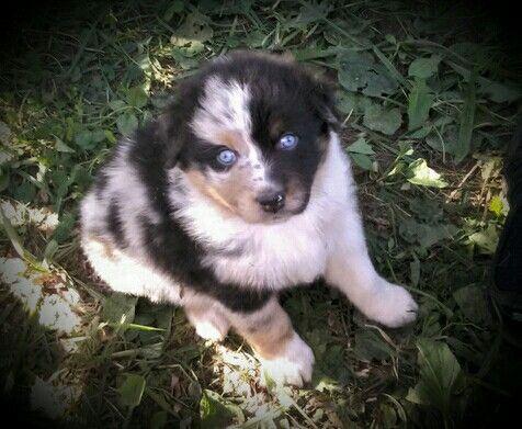 Half Face Blue Merle Australian Shepherd Pup Aussie Dogs