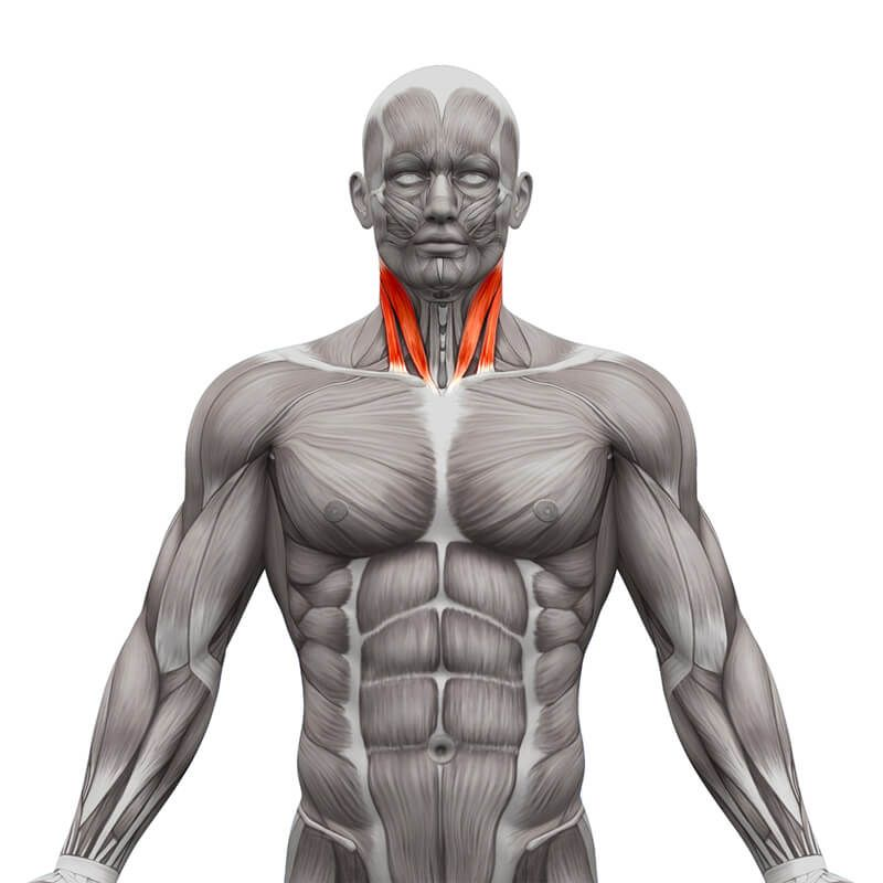 Sternocleidomastoid Muscle Yoga For Your Neck Pinterest