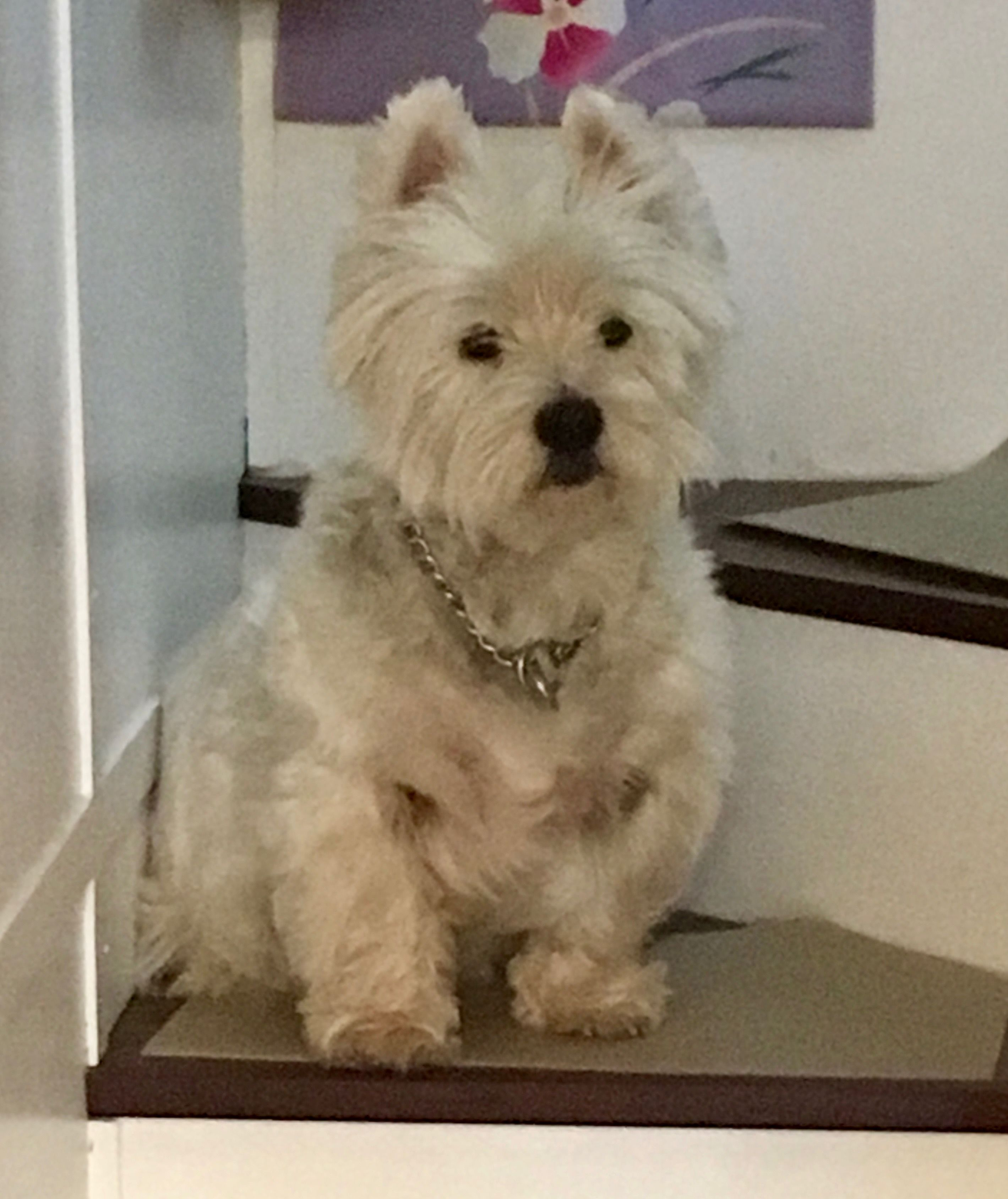 My Westie Teddie Sitting On My Tinyhome S Stairs White Terrier West Highland White Terrier Westies