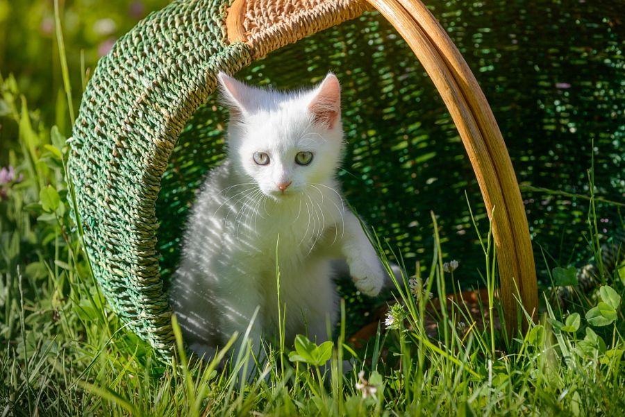 Kitten from the basket by Johann Frank