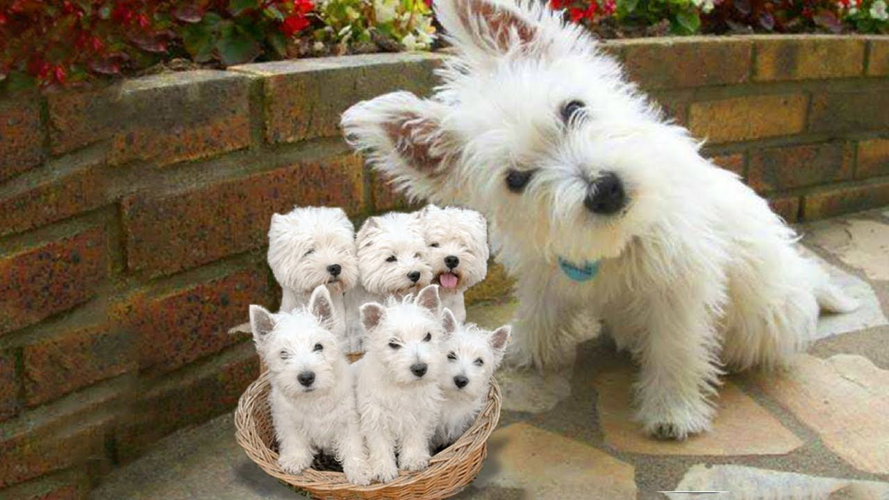 Westie The White Terrier Dog Breed Giving Birth To Cute Puppies Westie Dogs Dog Cuddles Westie Puppies