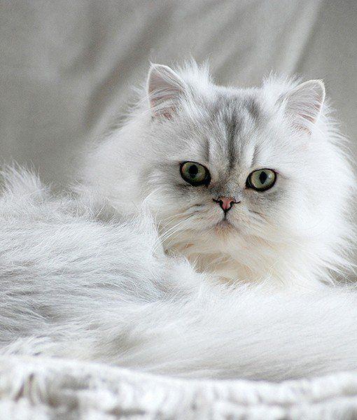 Not Found Persian Kittens Cats Popular Cat Breeds
