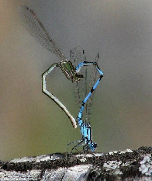 Стрекози створюють серце хвостиками під час спаровування
