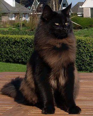 ɴᴏᴅᴇ Starclan 3 Norwegian Forest Cat Forest Cat Cats