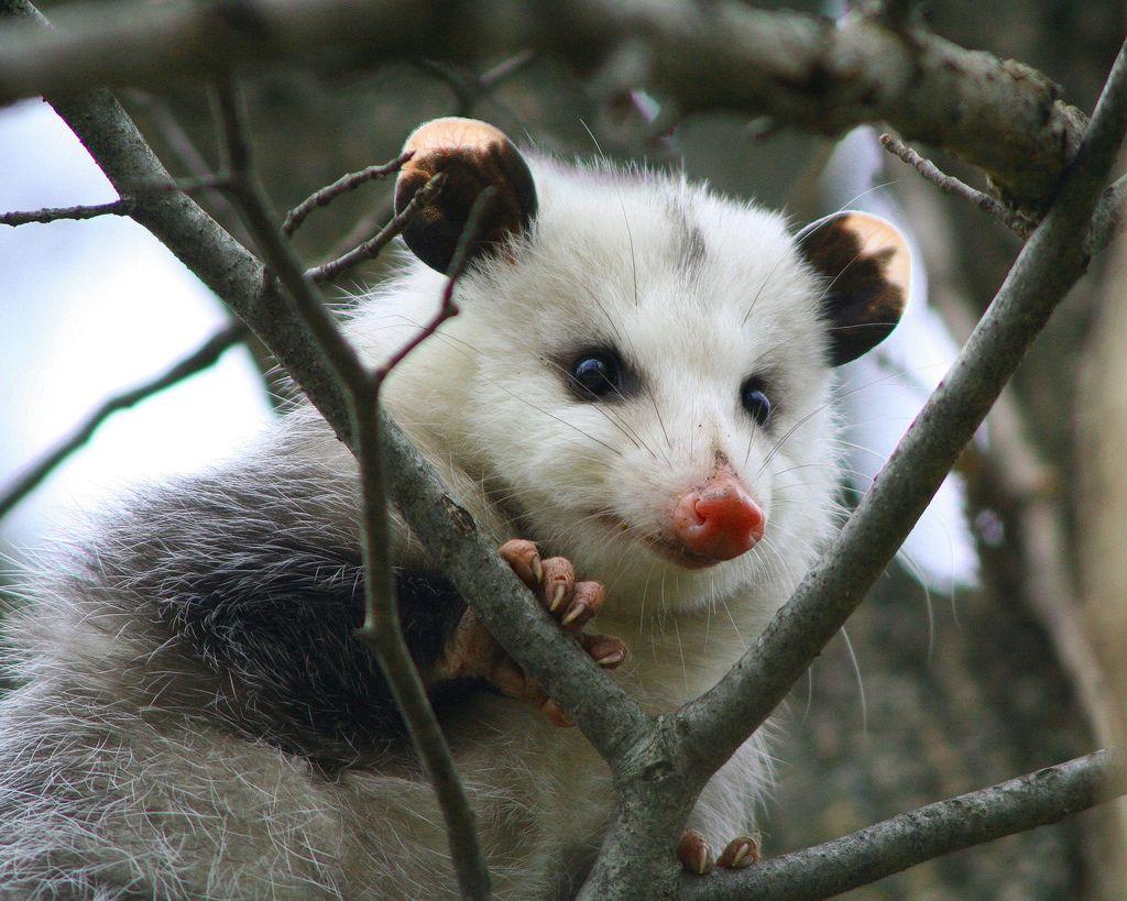 Opossum (With images) Opossum, Cute animals, Animals