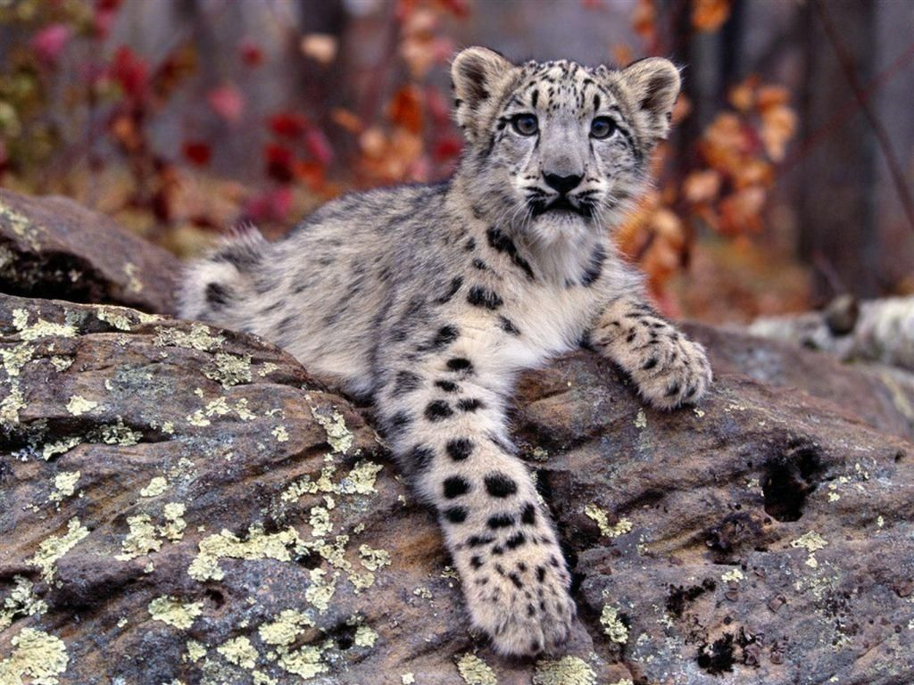Baby Snow Leopard By Its Me Donna