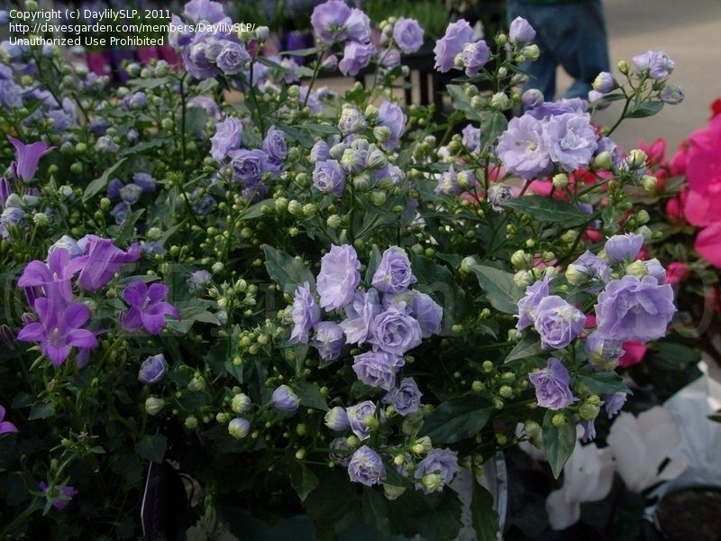 Full Size Picture Of Bellflower Blue Wonder Campanula X Haylodgensis So Beautiful Bellflower Campanula Flower Garden