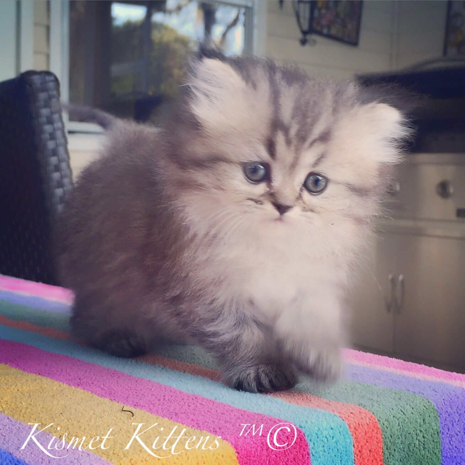 Kismet Kittens For Sale Silver Tabby Doll Face Persian Kitten