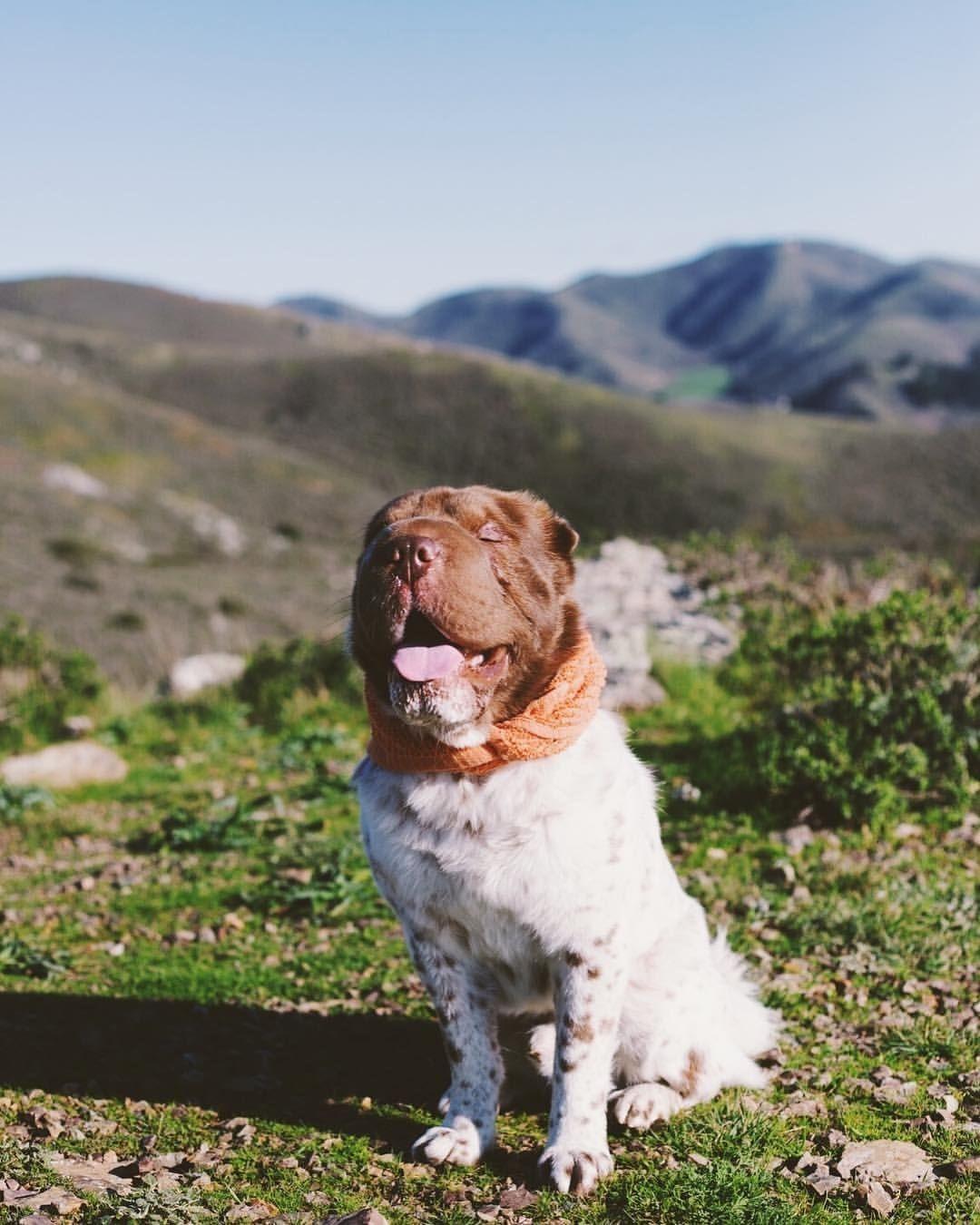 Easiest Dog Breed to House Train Sharpei housetrain