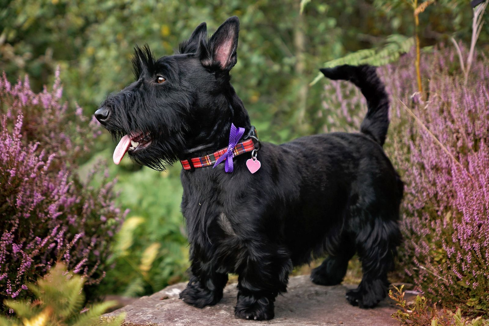 This Uk Native Dog Breed Is Now Officially At Risk Dog Breeds That Dont Shed Dog Breeds Scottish Terrier