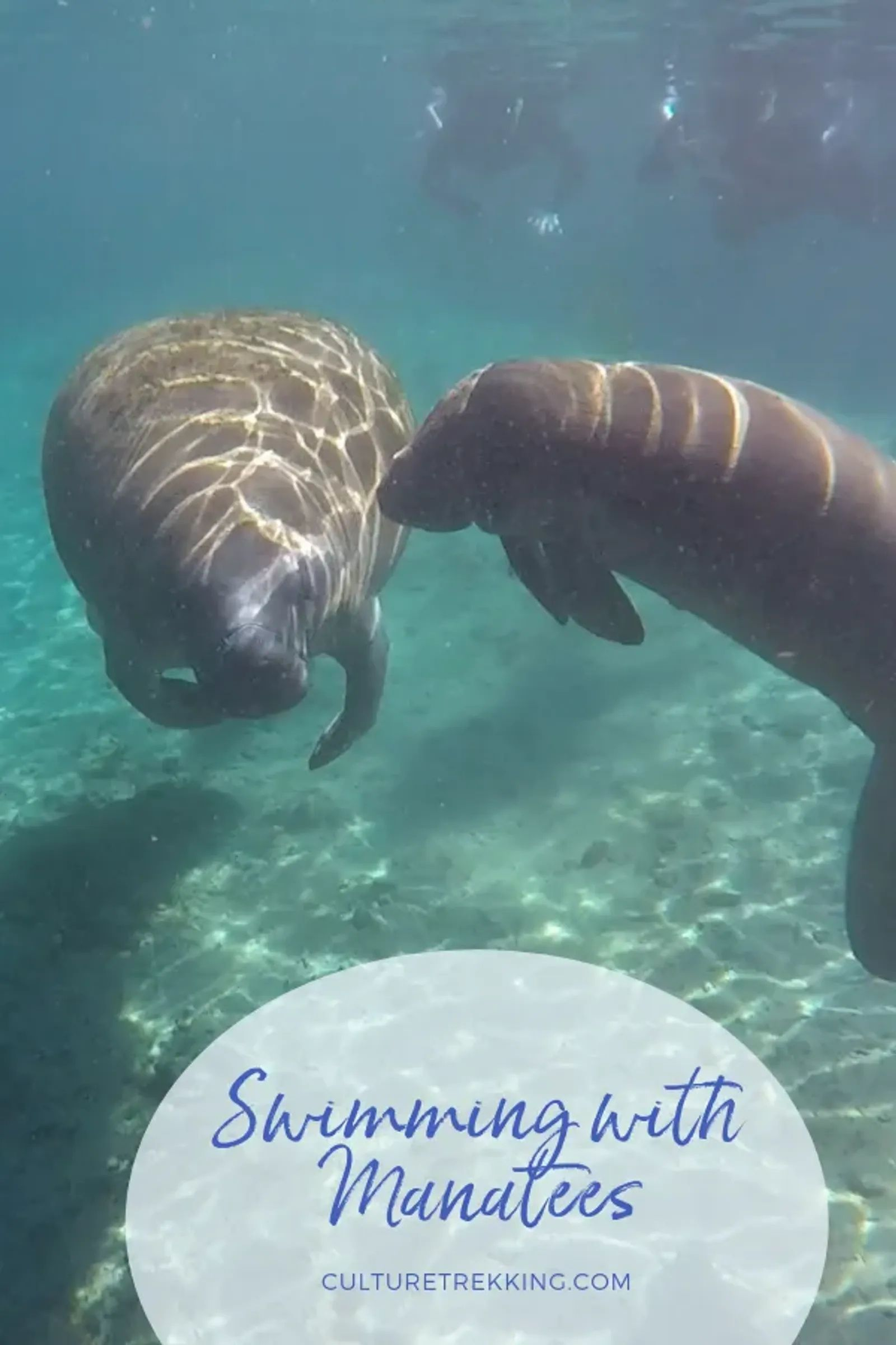 Swimming With Manatees In Crystal Rivers Florida Swimming With Manatees Crystal River Florida Manatee