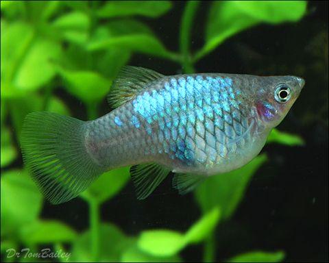 Platys Blue Platy At Aquariumfish Net Where You Can Shop Online For Platys Platy Fish Aquarium Fish Pet Fish