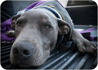 Bakersfield Ca American Staffordshire Terrier Basset Hound Mix