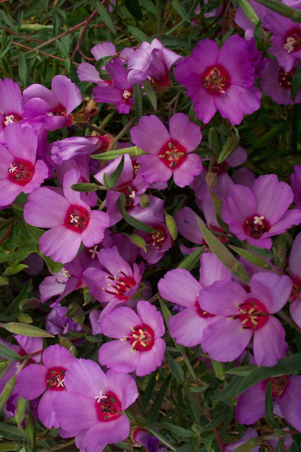 Also Called Herald Of Summer This Long Blooming Showy Pink Lavender Clarkia Has Distinctive Flowers With A Dark Red Blotch At Pretty Flowers Flowers Petals