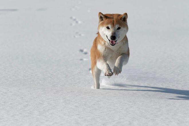 柴犬を室内で飼いたい 室内で飼う際の注意点は Docdog ドックドッグ 柴犬 芝犬 犬