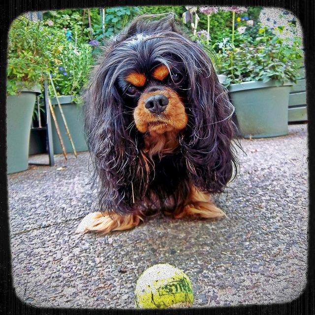 Cavalier King Charles Spaniel This is how my black and tan Cavalier looks at a ball.