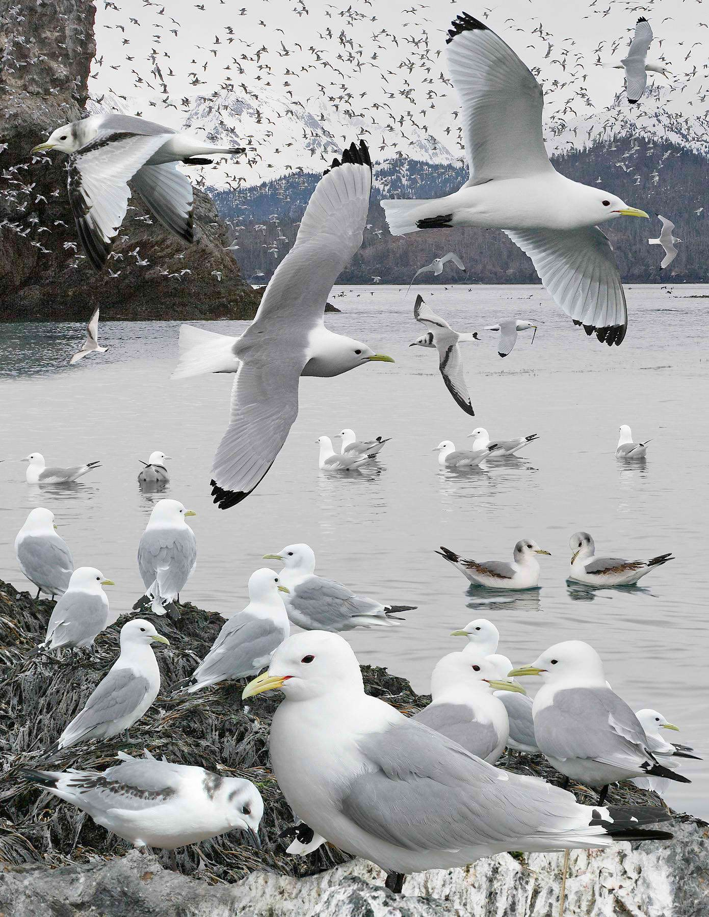 Kittiwakes can drink sea water and are excellent fishermen