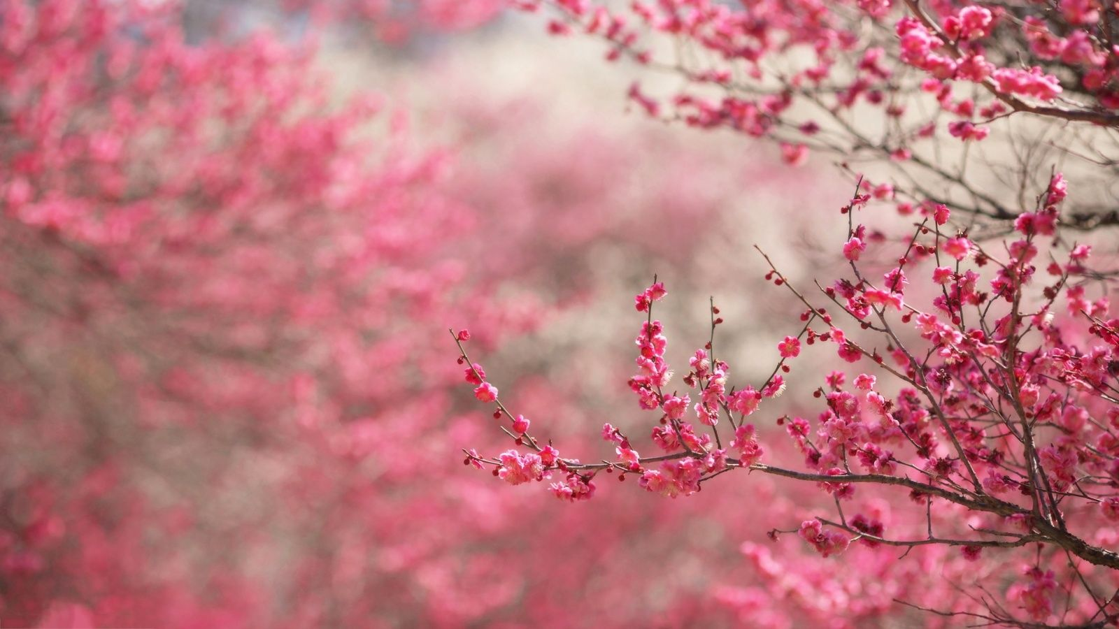 stocks at Cherry Blossoms Wallpapers group