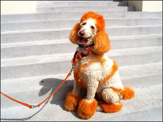A Typical Longhorn Day Pup Smiling Dogs Poodle