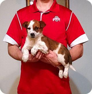 Gahanna Oh Australian Shepherd Border Collie Mix Meet Gunner A Puppy For Adoption Http Www A Australian Shepherd Puppy Adoption Australian Shepherd Mix