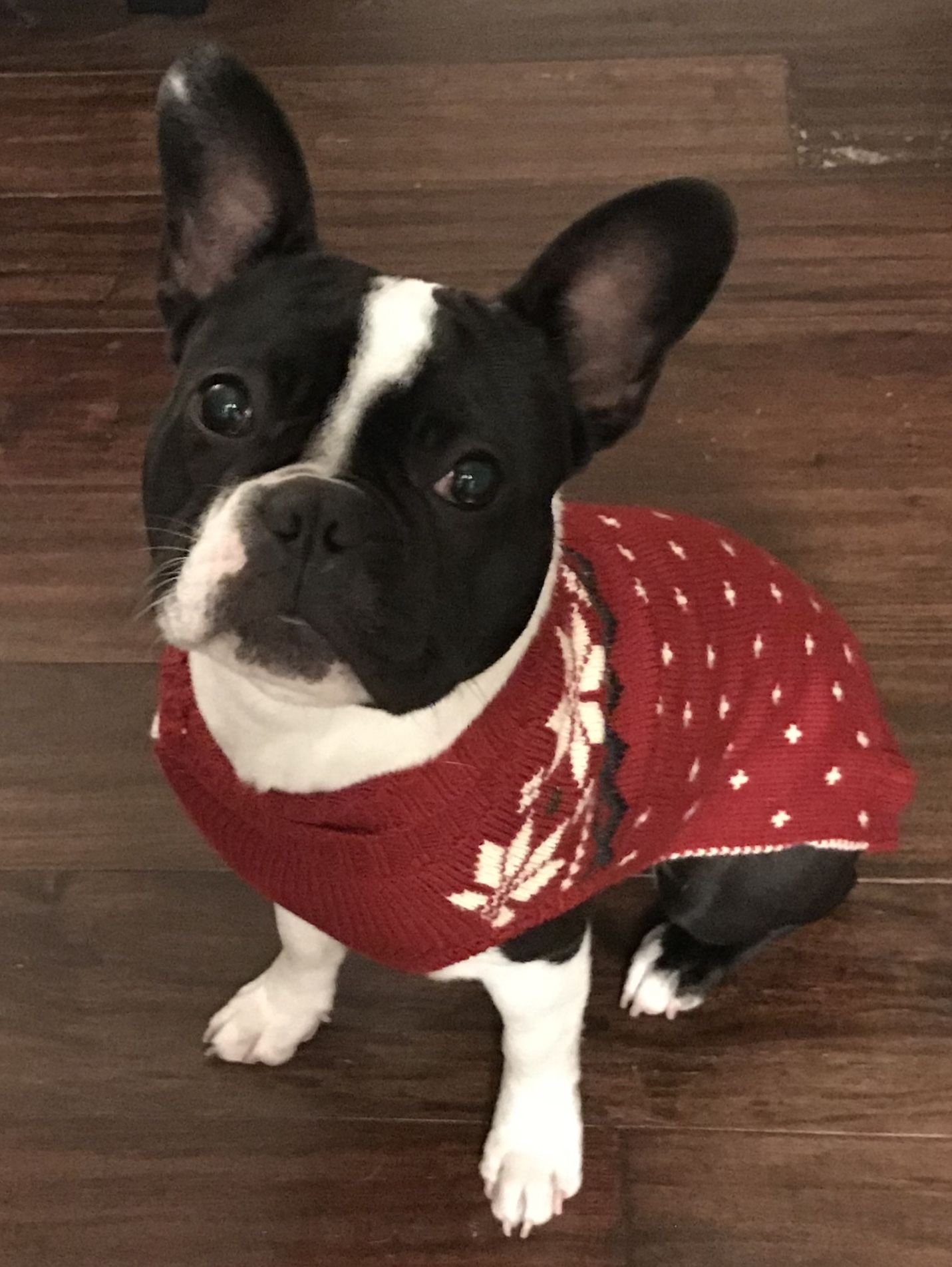 French Bulldog in a Christmas Sweater Cute animals, Dog
