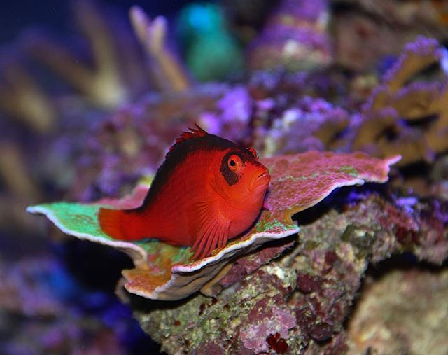 Flame Hawkfish chilling on a WWC Grafted Cap @strictlyfishmiami yesterday  #reeftank #reefrevolution #reefevolution #saltwater #canon #potd #corals #flamehawk #perching #reefkeepers #reef2reef