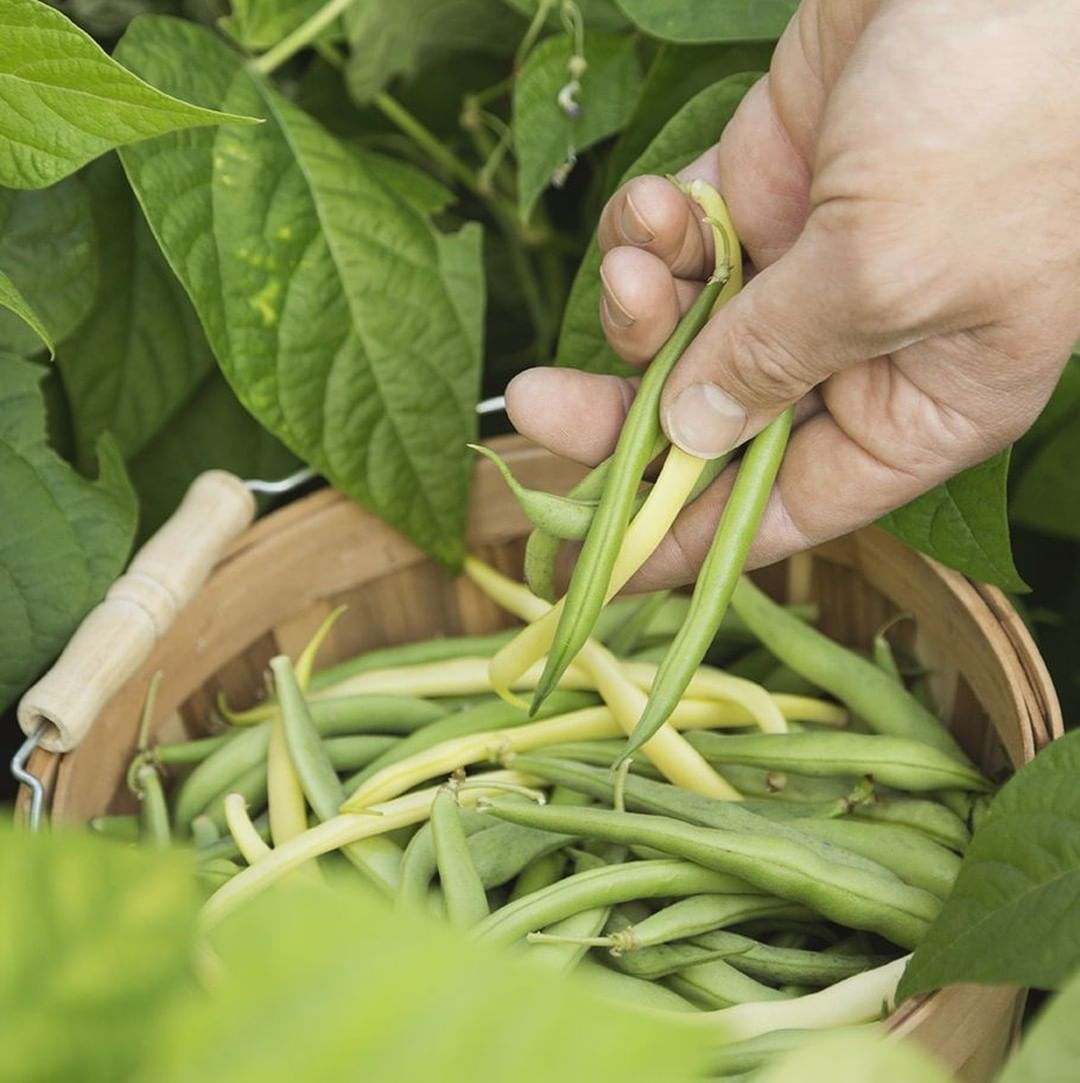 Nothing Beats Fresh Green Beans Straight From The Garden Our Dwarf Bean Growing Tips For This Season Sow Fresh Green Beans Leeks Green Beans