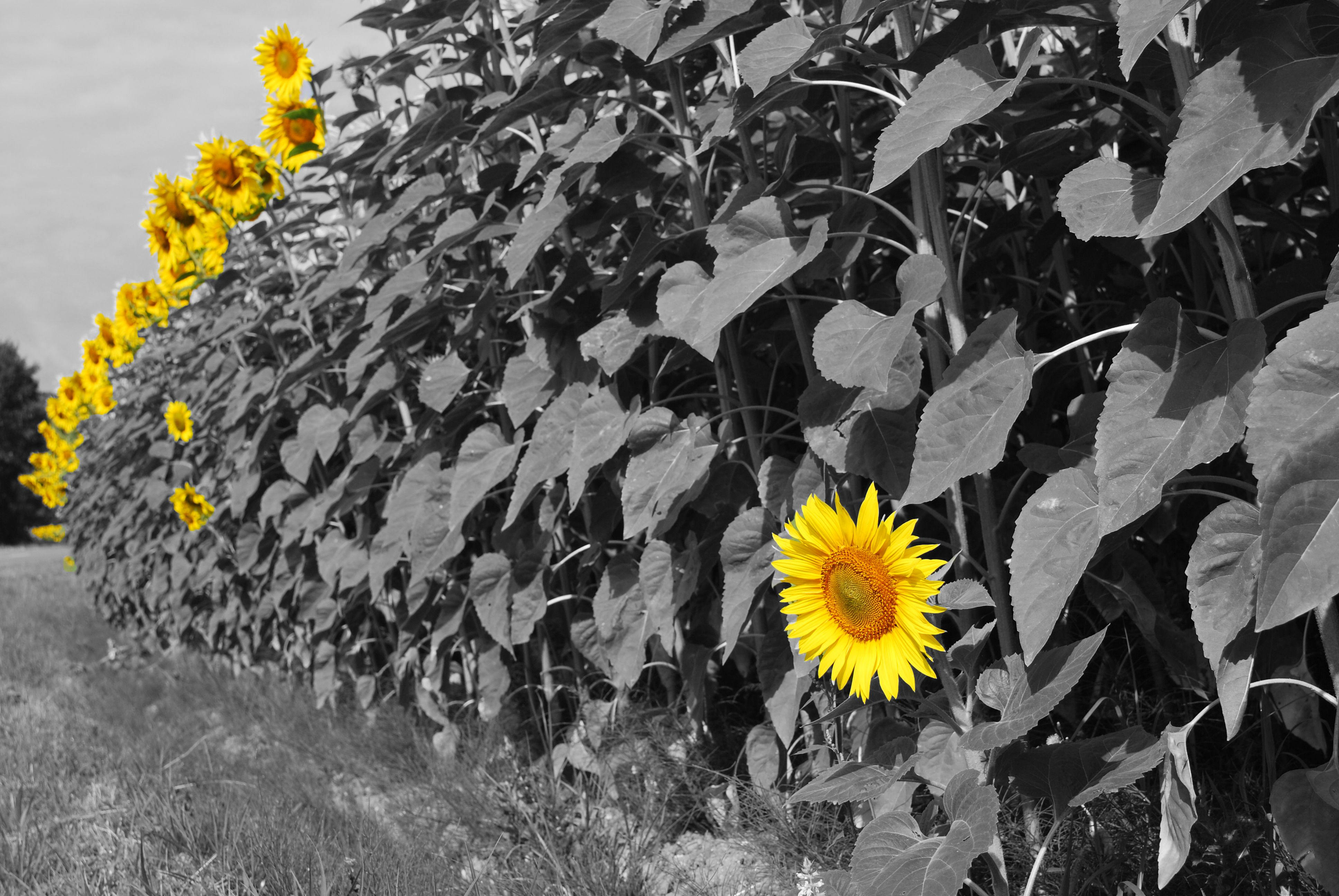 Sunflower Tumblr Black And White Background 1 HD Wallpapers