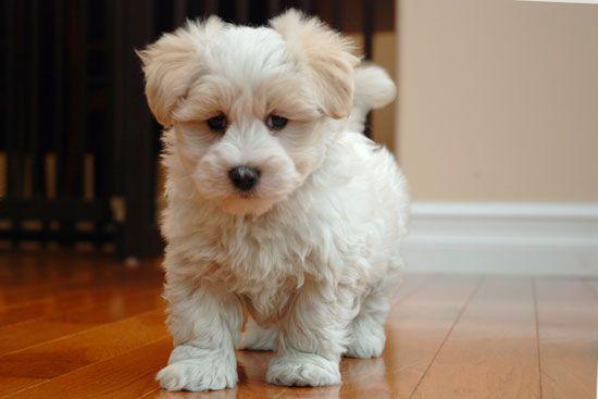 Coton De Tulear Yorkie Mix Coton De Tulear Puppy Coton De