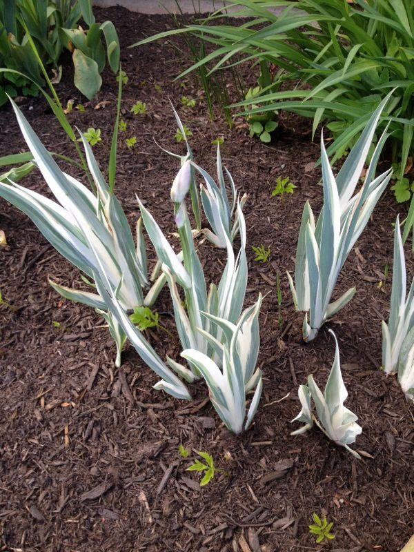 Free Plant Identification Blue flowers, Variegated, Plants