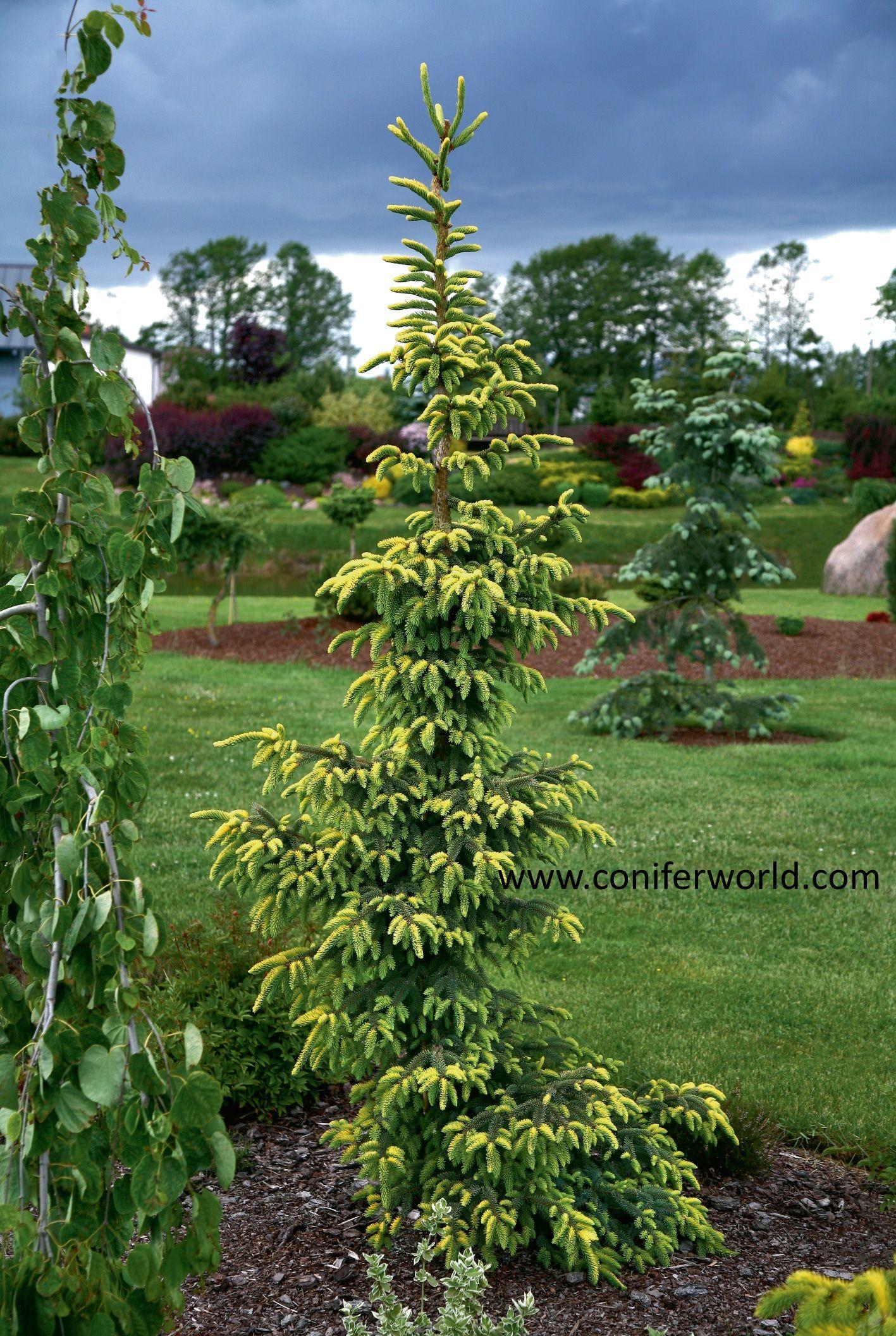 Picea Mariana Aurea A Medium Growing Pyramidal Cultivar With Yellow New