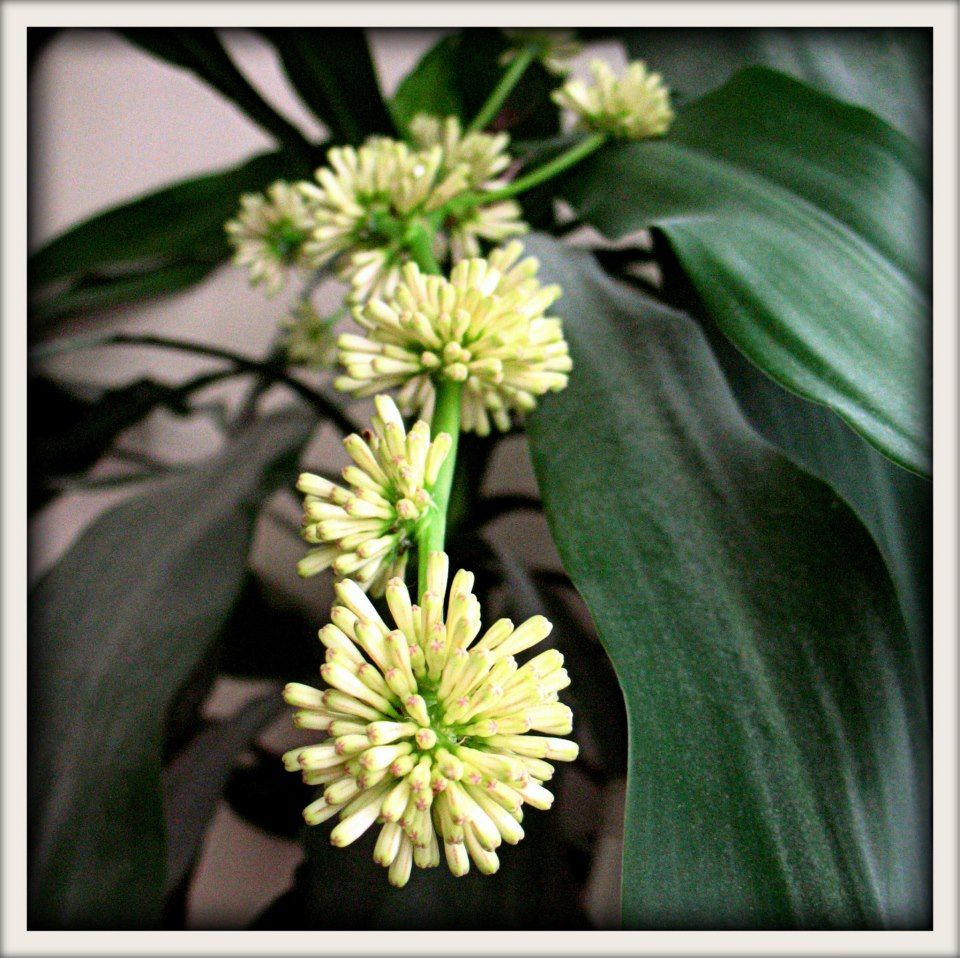 March 3rd, 2013...Dracaena fragrans 'Massangeana' (Corn Plant)...a native of tropical East Africa. They rarely bloom in captivity but mine is blooming! :)