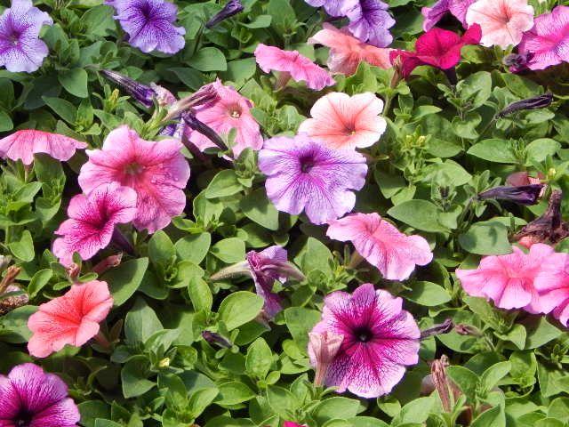 Madness Mix Petunia Plants Petunias Garden