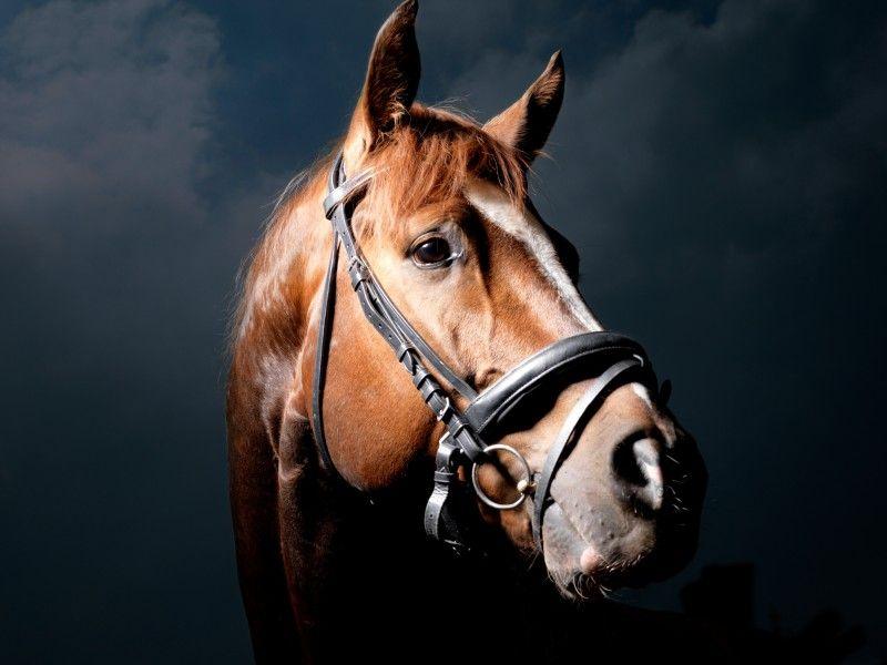 La tête d'un cheval alezan portant un filet