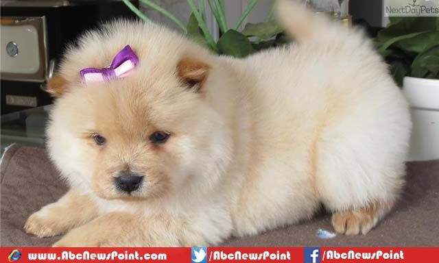 Chow Chow Puppies For Sale In Texas Chow Chow Puppy Chow