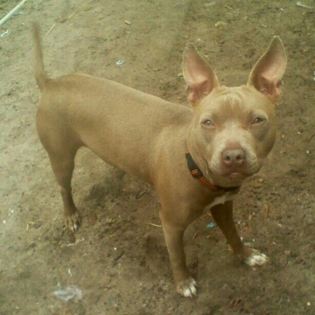 Would Love To Breed My Pithuahua With This One American Pitbull