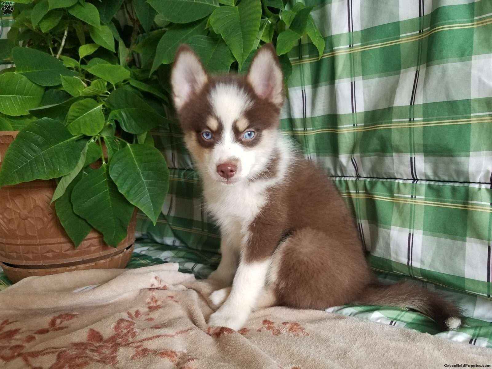 Princess Pomsky Puppy For Sale In Illinois Pomsky Puppies