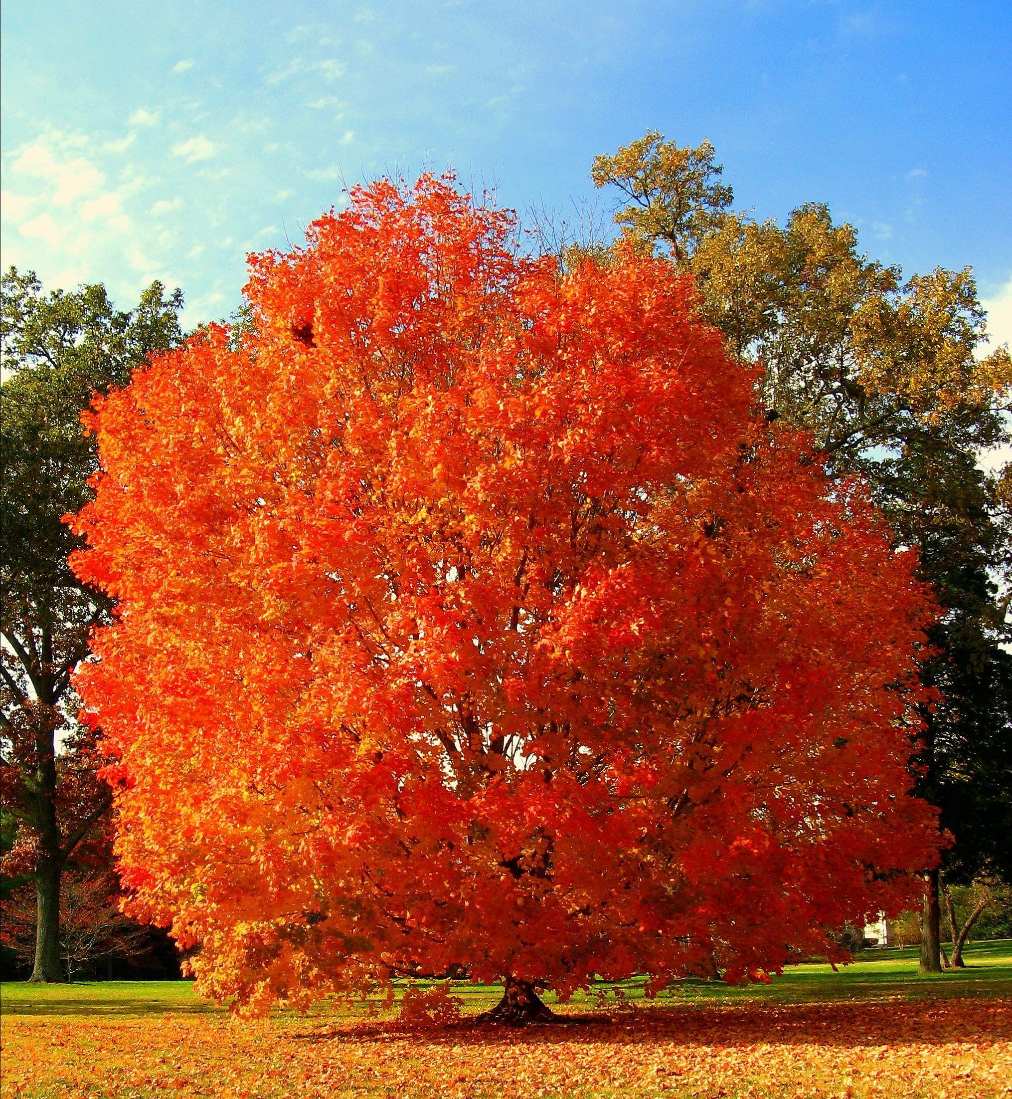 Image Result For Acer Saccharum Native Plant By Region Red Maple