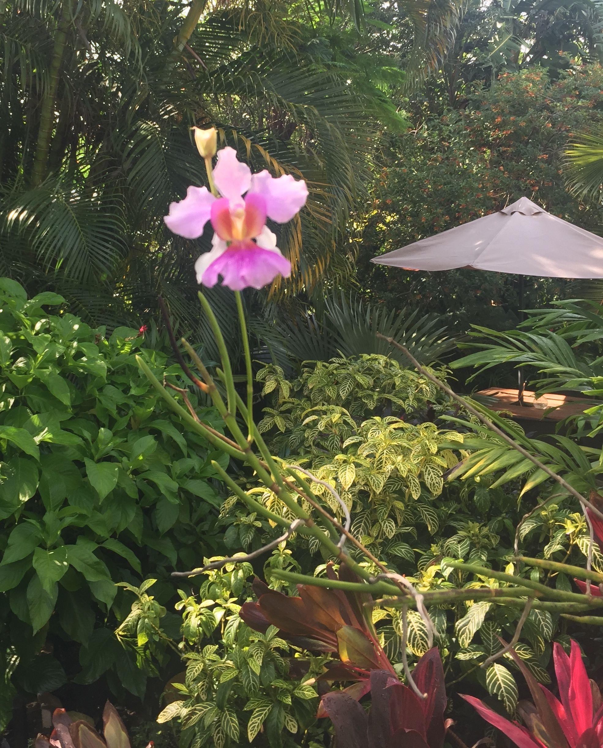 Arundina graminifolia, the Bamboo Orchid, produces pinkish