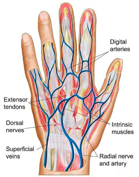 Dorsal Hand Tendon Nerve Artery Vein Anatomy Anatomy Pinterest