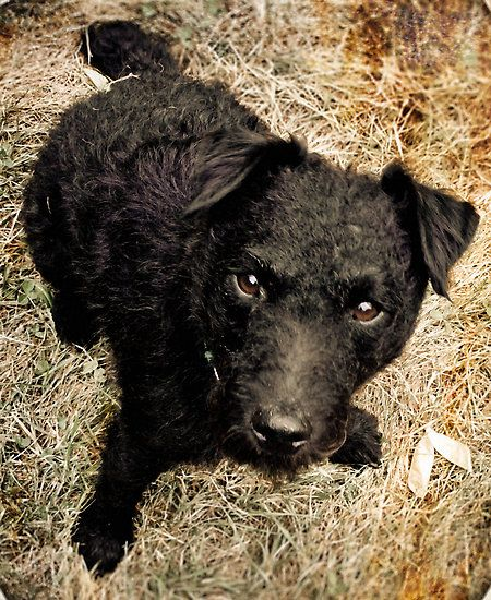 Pin on Patterdale terrier
