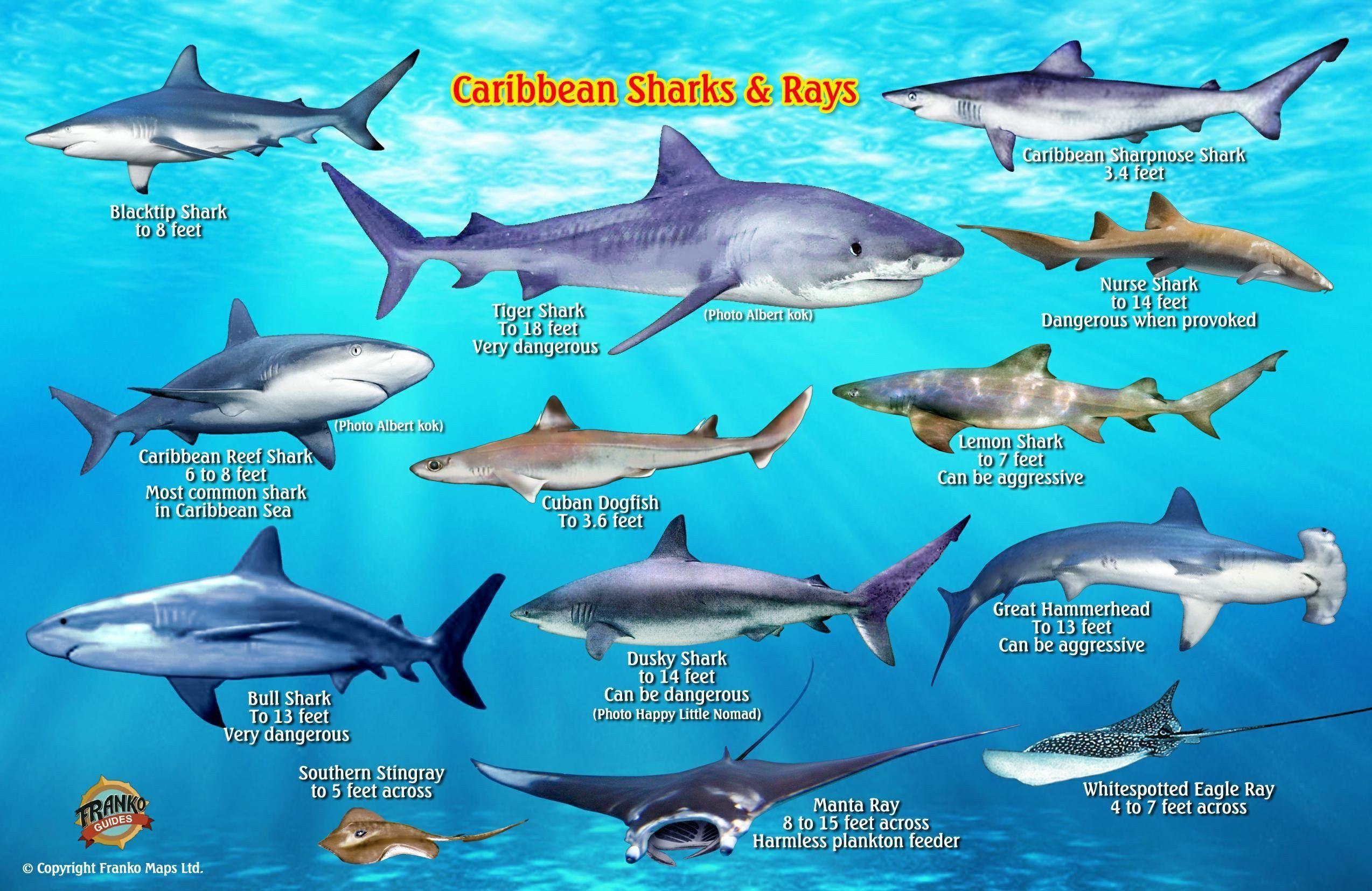 Franko Maps Caribbean Sharks Rays Creature Guide 5 5 X 8 5