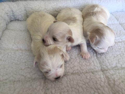 Maltese Puppy For Sale In Sylva Nc Adn 55655 On Puppyfinder Com