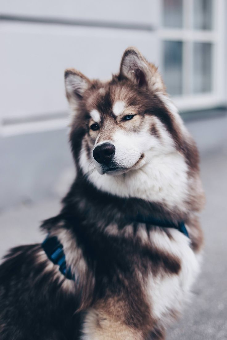 5 Facts About The Siberian Husky Teddy I 2020 Hundar Djur Varg