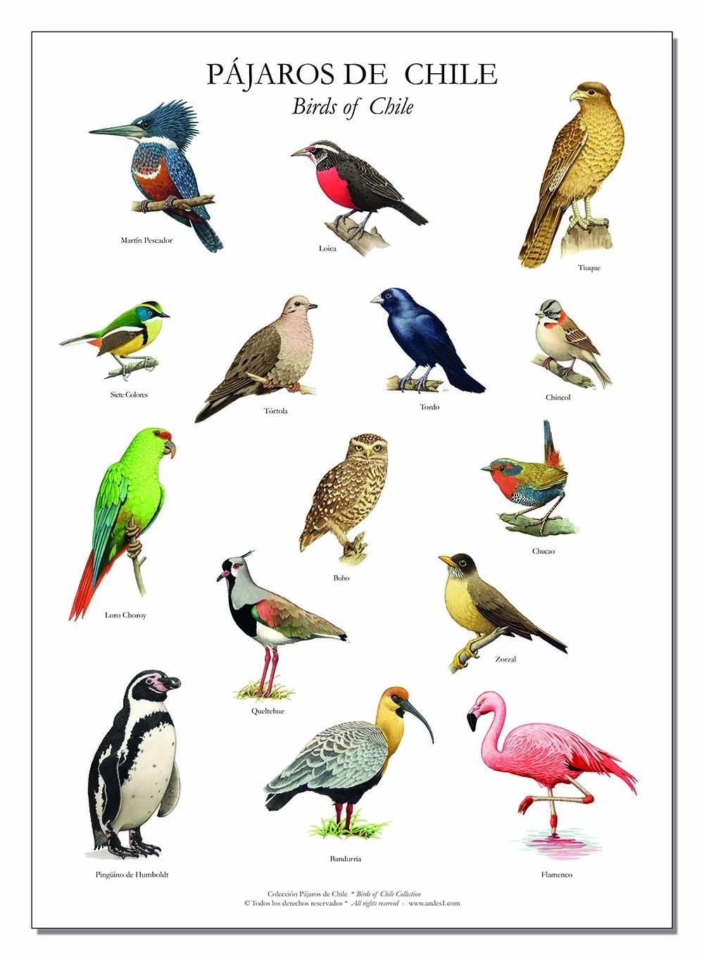 Pin De Hector En Aves Pajaros Chilenos Imagenes De Pajaro Y Pintura De Pajaros