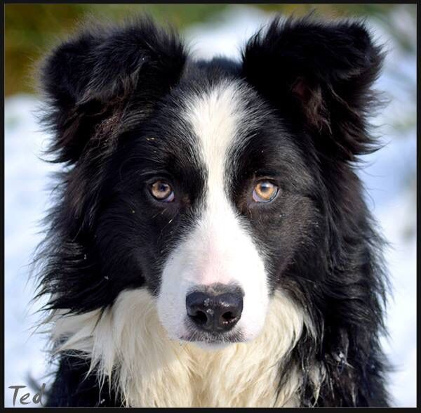 This One Looks Like My Faith The Eyes The Stare Collie Dog