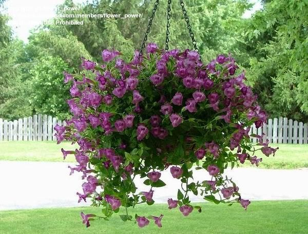 Hanging Basket Flowers Part Shade : Proven winners summer wave amethyst a good alternative