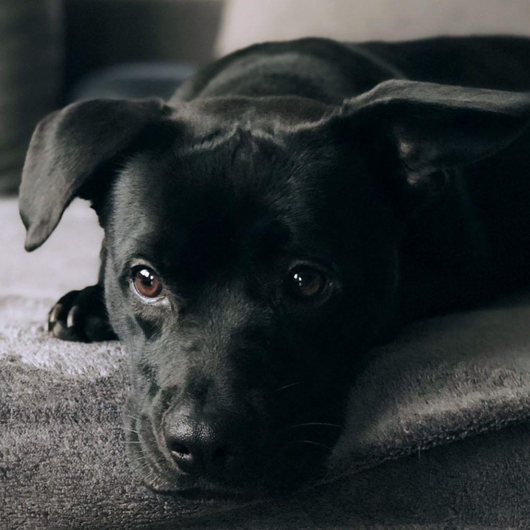 Blackbeauty Dog Bulldog Amstaff Staffordshirebullterrier Mix Mischling Hund Black Schwarz In 2020 Staffordshire Terrier Labrador Retriever Terrier