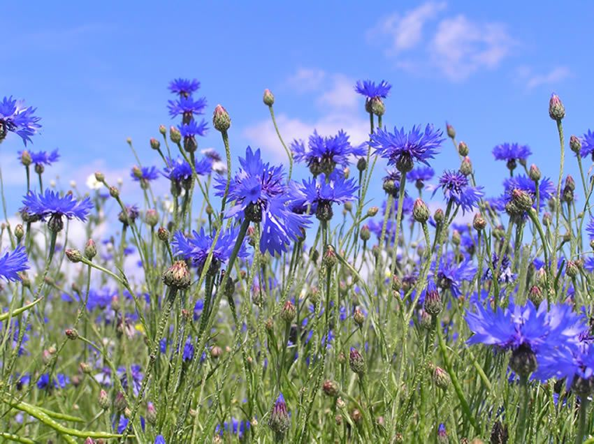 Cornflower Blue Plants Blue Flowers Beautiful Flowers