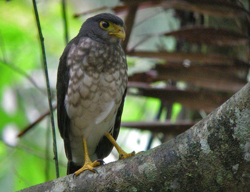 Slaty-backed Forest Falcon Micrastur mirandollei - Google Search